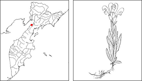 Мытник печальный pedicularis tristis l