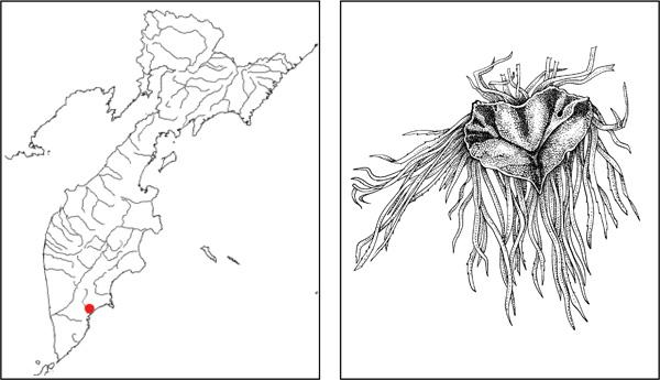 Риччиокарпос плавающий ricciocarpos natans l