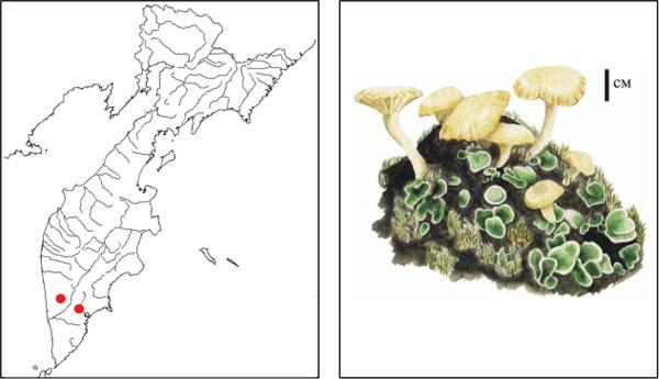 Лихеномфалина гудзонская lichenomphalia
