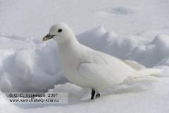 Белая чайка на снегу