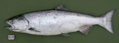 Чавыча (самка) Oncorhynchus tschawytscha