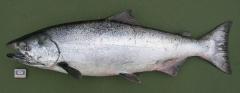 Чавыча (самец) Oncorhynchus tschawytscha