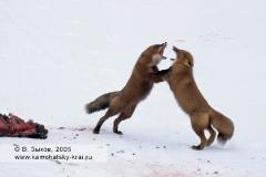 Две лисы-огневки (Схватка)