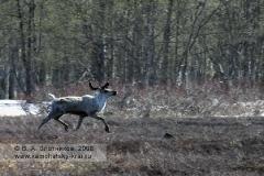 Дикий северный олень бежит по тундре