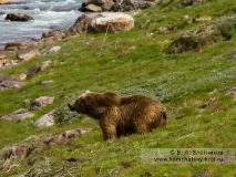 Камчатский бурый медведь на берегу реки Гейзерной (Долина гейзеров)
