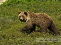 Молодой камчатский бурый медведь в кальдере вулкана Узон