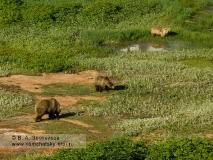 Семья камчатских бурых медведей в кальдере вулкана Узон