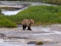 Детеныш камчатского бурого медведя в кальдере вулкана Узон
