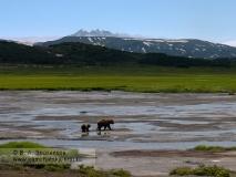 Медведица c медвежонком идут в кальдере вулкана Узон