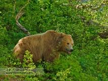 Камчатский бурый медведь на пастбище