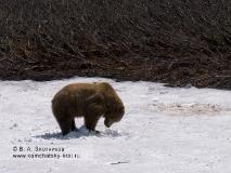 Камчатский бурый медведь, устройство лёжки