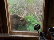 Камчатский бурый медведь в Долине гейзеров у кордона Кроноцкого заповедника