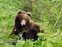 Молодой камчатский бурый медведь