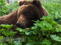 Портрет молодого камчатского бурого медведя