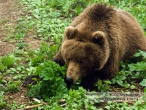 Молодой камчатский бурый медведь в Долине гейзеров