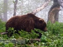 Камчатский бурый медведь на пастбище в Долине гейзеров