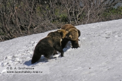 Меченая медведица с молодым медведем в период гона