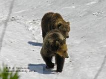 Камчатский бурый медведь. Гонная пара