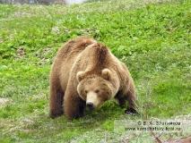 Бурый медведь Камчатки в Долине гейзеров