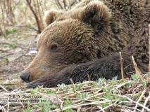 Камчатский бурый медведь. Портрет