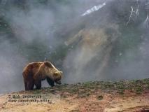 Камчатский бурый медведь у гейзера Аверий в Долине гейзеров