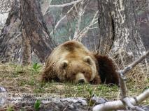 Камчатский бурый медведь лежит в районе ручья Горячего в Долине гейзеров