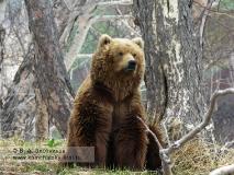 Камчатский бурый медведь в районе ручья Горячего (Долина гейзеров)