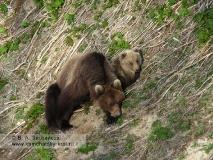 Самка камчатского бурого медведя с сеголетком