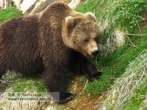 Камчатский бурый медведь на термальном склоне каньона реки Гейзерной