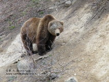 Камчатский бурый медведь в районе гейзера Аверий