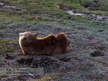 Камчатский бурый медведь. Характерная лежка медведя