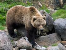 Камчатский бурый медведь на Камчатке