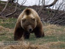 Камчатский бурый медведь на пастбище (медведь ослеп от солнца)