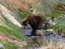 Бурый медведь Камчатки. Из серии Переправа через ручей Водопадный