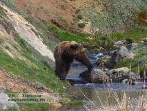 Бурый камчатский медведь. Из серии Переправа через ручей Водопадный