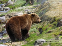 Камчатский бурый медведь на пастбище у ручья Водопадного в Долине гейзеров