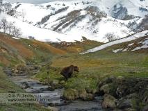 Камчатский бурый медведь у ручья Водопадного в Долине гейзеров