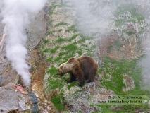 Камчатский бурый медведь в Долине гейзеров на Камчатке