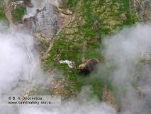 Камчатский бурый медведь в Долине гейзеров. Слева вверху — пульсирующий источник Бастион