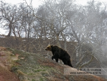 Камчатский бурый медведь — старая медведица Темнолапка