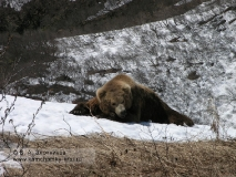Камчатский бурый медведь на отдыхе