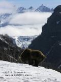 Камчатский бурый медведь делает свои дела