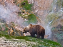 Камчатский бурый медведь ест траву на пастбище у Витража в Долине гейзеров