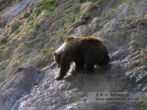 Камчатский бурый медведь на гейзеритовых натеках в Долине гейзеров