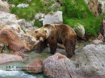 Камчатский бурый медведь. У Витража, берег реки Гейзерной, Долина гейзеров
