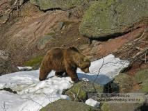 Камчатский бурый медведь в камнях у реки Гейзерной в Долине гейзеров