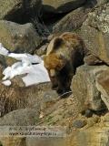 Бурый медведь Камчатки в камнях у реки Гейзерной в Долине гейзеров