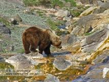 Бурый медведь на сливе с гейзера Великан в Долине гейзеров на Камчатке