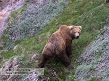 Камчатский бурый медведь, раскорячившийся на склоне