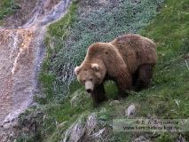 Крупный камчатский бурый медведь
